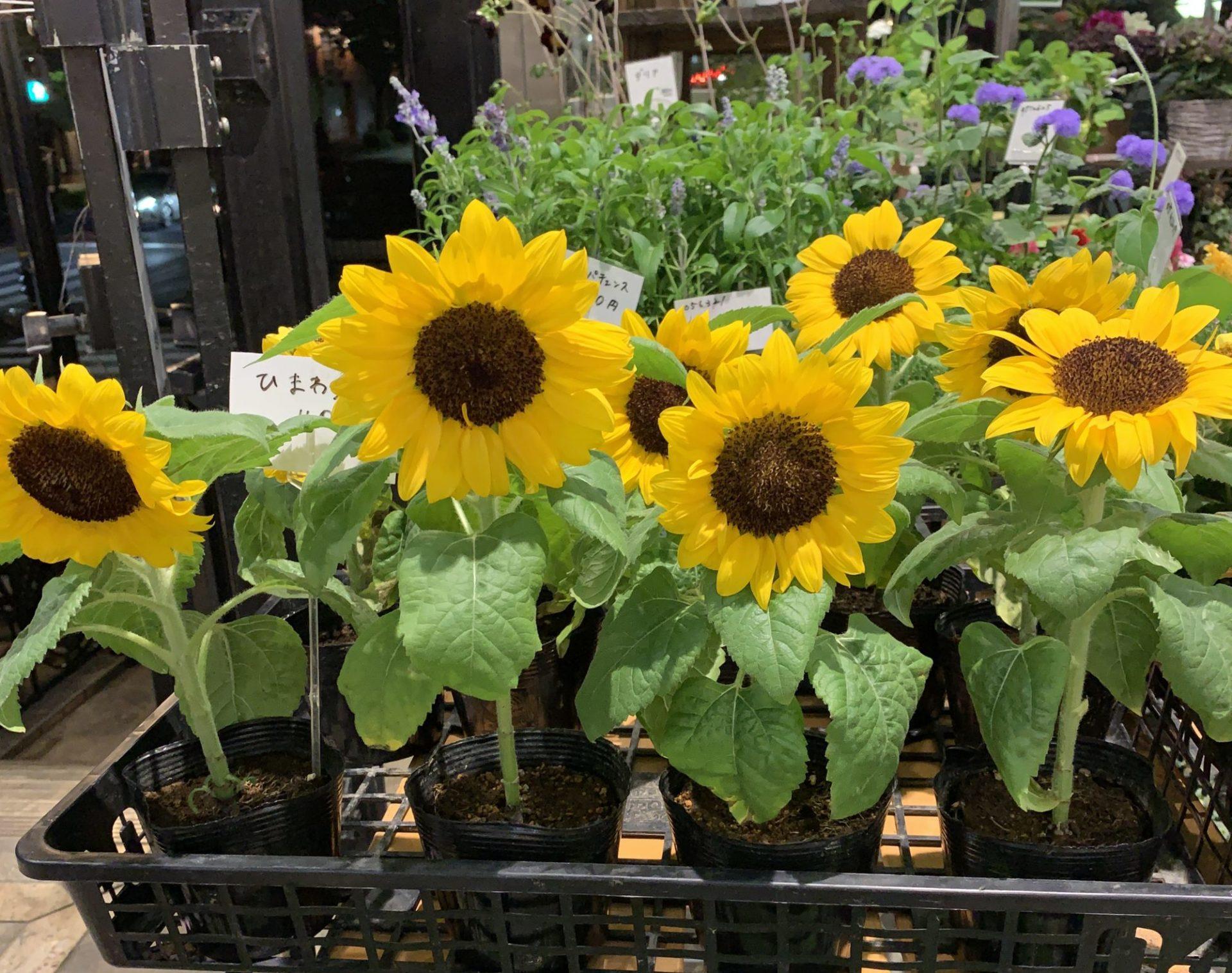 春から夏へ花屋さんの店先の花も淡い入りから夏の鮮やかな色へと変わってきました。